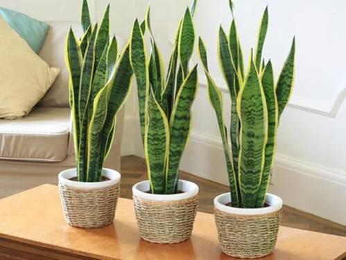 Bật mí 5 loại cây phong thủy trồng trong nhà tốt nhất